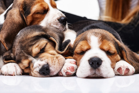 Los tres cachorros beagle, 1 mes de edad, durmiendo en frente de fondo blanco Foto de archivo
