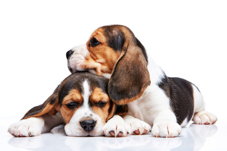 beagle puppy: The two beagle puppies lying on the white background Stock Photo