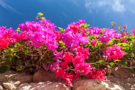 sharm el sheikh: Beauty pink bougainvillea  on the background of blue sky, Sharm el Sheikh, Egypt Stock Photo