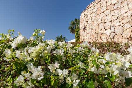 sharm el sheikh: Beauty white bougainvillea  on the background of blue sky, Sharm el Sheikh, Egypt