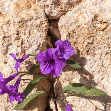 el sheikh: The Purple Petunias on stone background. Sharm el Sheikh, Egypt