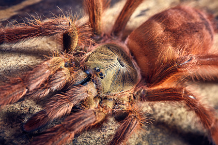 flauna: Tarantula Tapinauchenius gigas close-up on a background of brown soil