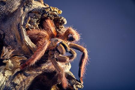 flauna: Tarantula Tapinauchenius gigas close-up on a background of brown soil