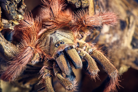 arachnida: Tarantula Tapinauchenius gigas close-up on a background of brown soil