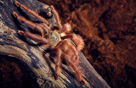 mature mexican: Tarantula Tapinauchenius gigas close-up on a background of brown soil
