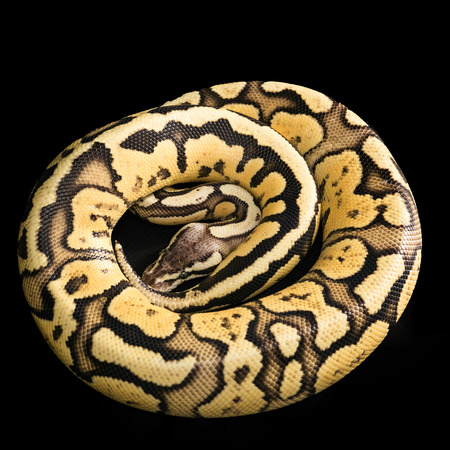 coiled: Ball Python  -Python regius, isolated on a black background. snake coiled in a spiral