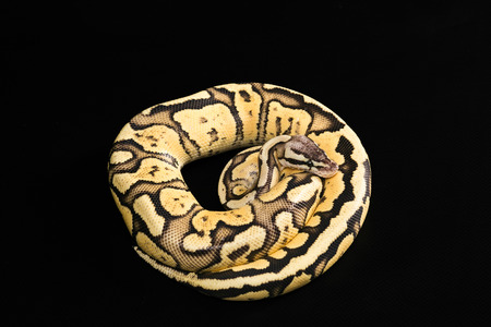 coiled snake: Female Ball Python - Python regius, age 1 year, isolated on a black background. snake coiled in a spiral