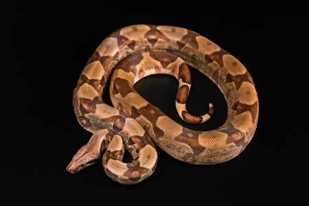 constrictors: The Boa constrictors, isolated on black background