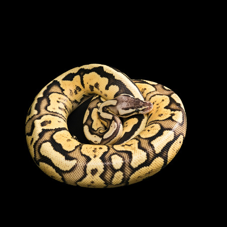 ball python: Female Ball Python - Python regius, age 1 year, isolated on a black background. Firefly Morph or Mutation