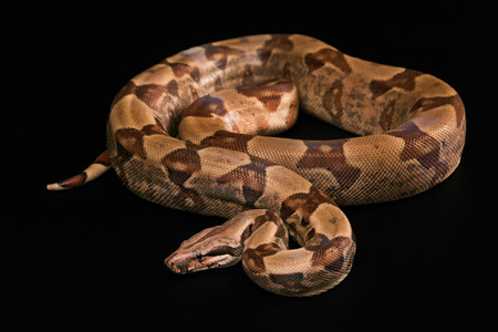 The Boa constrictors, isolated on black background