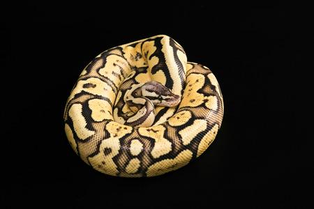 mutation: Female Ball Python - Python regius, age 1 year, isolated on a black background. Firefly Morph or Mutation