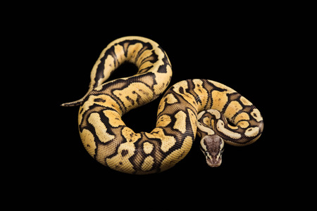 morph: Female Ball Python - Python regius, age 1 year, isolated on a black background. Firefly Morph or Mutation