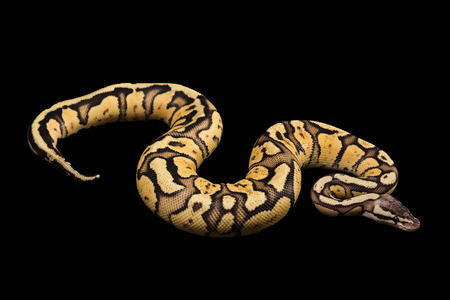 regius: Female Ball Python - Python regius, age 1 year, isolated on a black background. Firefly Morph or Mutation