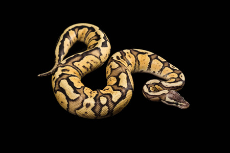 Female Ball Python - Python regius, Alter 1 Jahr, isoliert auf einem schwarzen Hintergrund. Firefly Morph oder Mutation Standard-Bild - 41978158