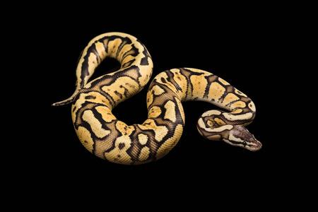 Vrouw Ball Python - Python, leeftijd 1 jaar, die op een zwarte achtergrond. Firefly Morph of Mutation Stockfoto