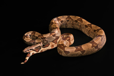 boa: The Boa constrictors, isolated on black background