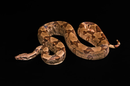 black boa: The Boa constrictors, isolated on black background