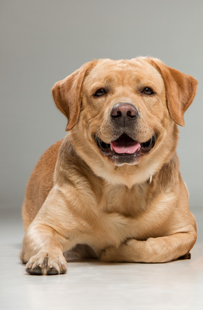 animal tongue: Labrador retriever sitting in front of gray background Stock Photo