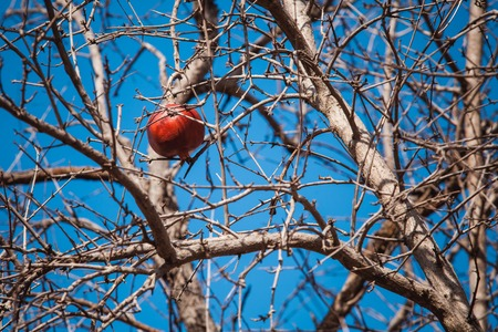 a pomegranate: The red dried pomegranate on tree against blue sky Stock Photo