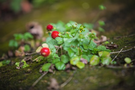 Wild strawberry plant with green leafs and ripe red fruit