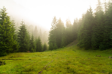 hill: Beautiful green pine trees on Carpathian mountains in Ukraine