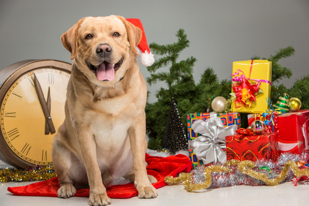 labrador christmas: Labrador with Santa Hat  and a New Years garland  and presents. Christmas decoration on a gray background