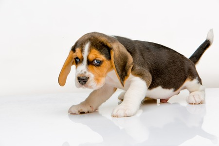 amor adolescente: Cachorro beagle de pie en el fondo blanco