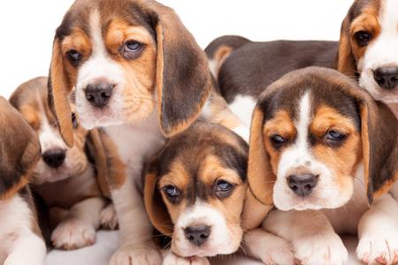 puppy love: Cachorro beagle que miente en el fondo blanco, entre otros cachorros de dormir Foto de archivo