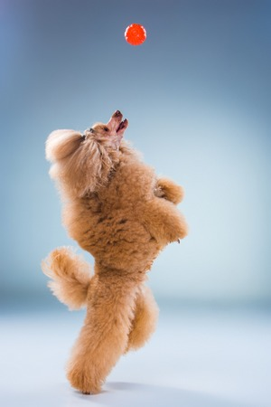 Red Toy Poodle puppy playing with a ball on a gray background