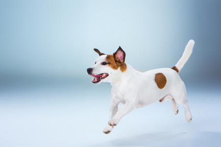 jack russell terrier: Small Jack Russell Terrier jumping high on gray background
