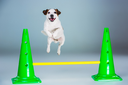 whine: Small Jack Russell Terrier jumping high on gray background