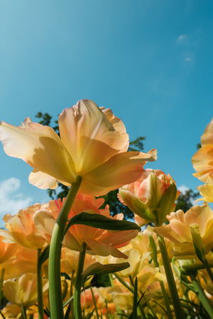 lisse: The colorful tulips close up against blue sky in Keukenhof flower garden, Lisse, Netherlands, Holland Stock Photo