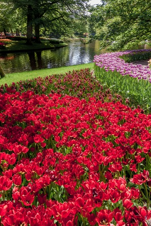 lisse: The tulip field in Keukenhof flower garden, Lisse, Netherlands, Holland Stock Photo