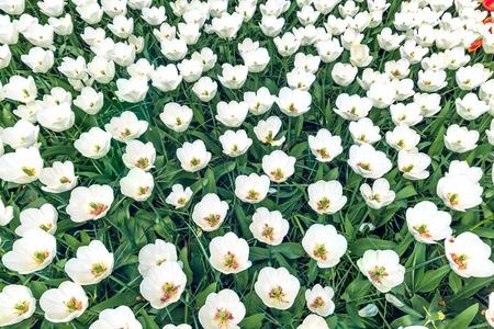 keukenhof: The tulip field in Keukenhof flower garden, Lisse, Netherlands, Holland Stock Photo