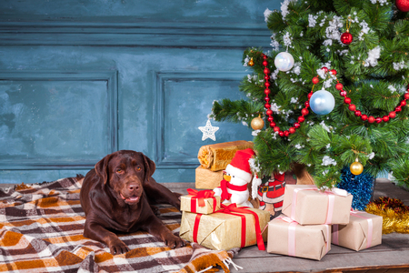 pet new years new year pup: black labrador retriever sitting with gifts on Christmas decorations background Stock Photo