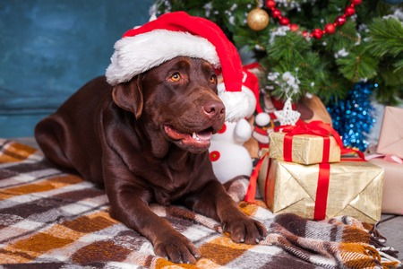 black labrador retriever wearing as Santa sitting with gifts on Christmas decorations background