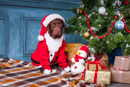 pet new years new year pup: black labrador retriever wearing as Santa sitting with gifts on Christmas decorations background