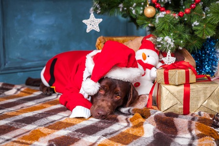 pet new years new year pup: black labrador retriever lying with gifts on Christmas decorations background
