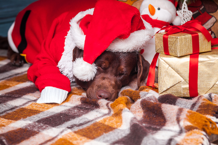 64513530 black labrador retriever lying with gifts on christmas decorations background