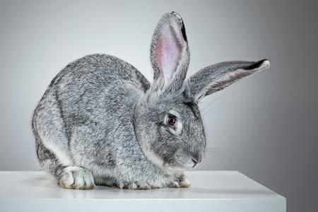 european rabbit: European rabbit or common rabbit, 2 months old, Oryctolagus cuniculus against gray background