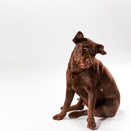 The brown labrador retriever sitting on white studio background Stock Photo