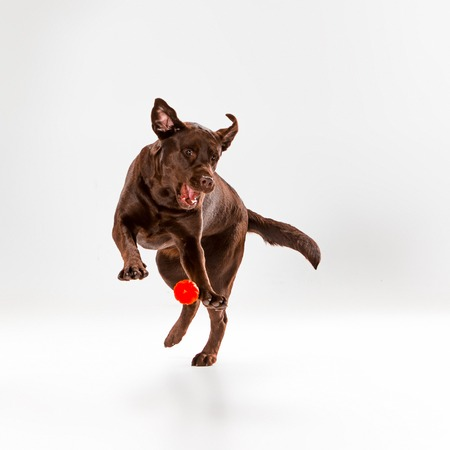 The brown labrador retriever playing on white studio background Stock Photo