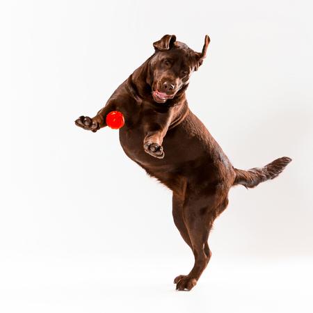 The brown labrador retriever playing on white studio background Stock Photo