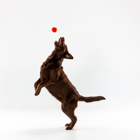 The brown labrador retriever playing on white studio background Reklamní fotografie