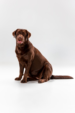 The brown labrador retriever sitting on white studio background Stock Photo