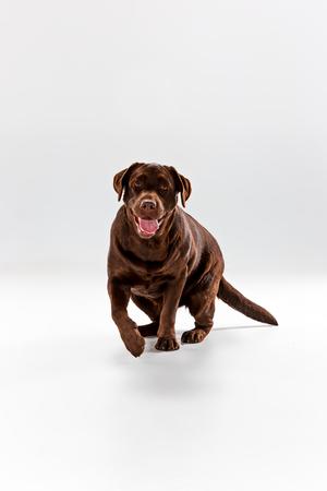 The brown labrador retriever on white studio background