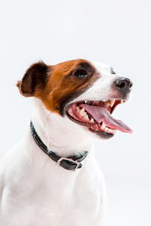 obedecer: Small Jack Russell Terrier sitting on white background