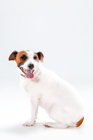 paw russell: Small Jack Russell Terrier sitting on white background
