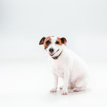 obey: Pequeño Jack Russell Terrier sentado sobre fondo blanco Foto de archivo