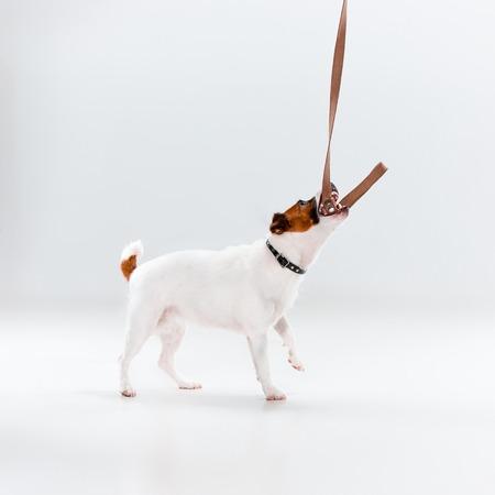 obey: Pequeño Jack Russell Terrier jugando en el fondo blanco